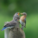 Eastern Bluebirds Photo